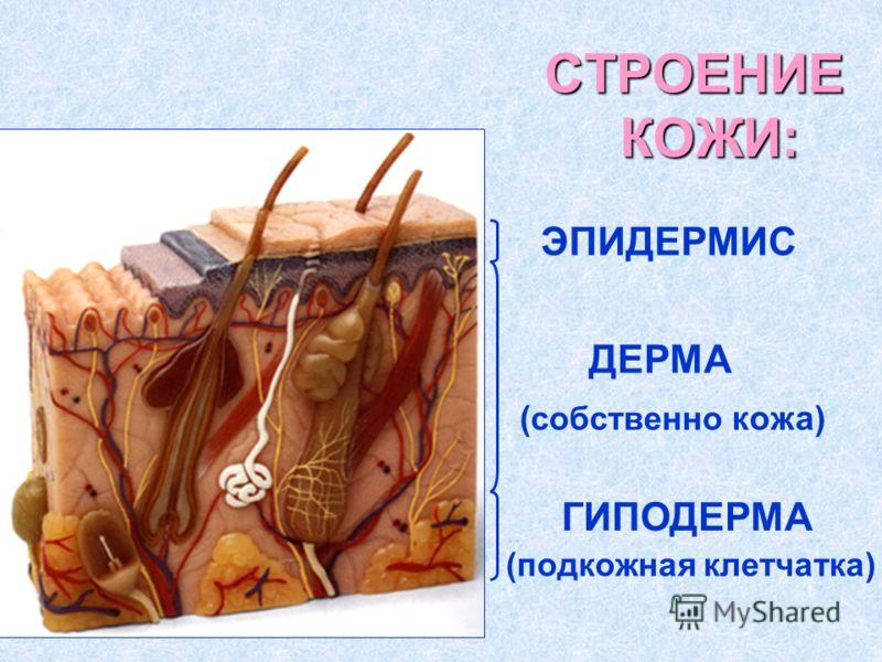 СТРОЕНИЕ КОЖИ: ЭПИДЕРМИС ДЕРМА ГИПОДЕРМА ( собственно кожа) (подкожная клетчатка)
