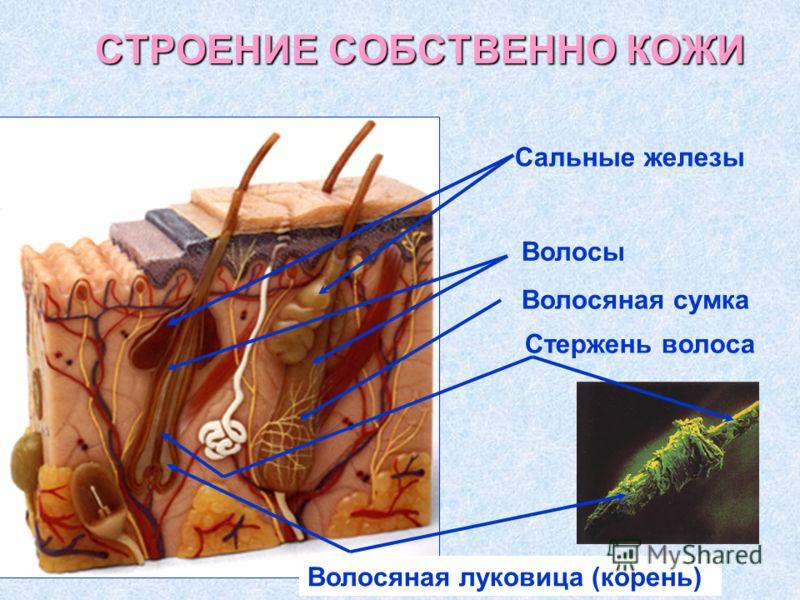 СТРОЕНИЕ СОБСТВЕННО КОЖИ Сальные железы Волосы Стержень волоса Волосяная сумка Волосяная луковица (корень)