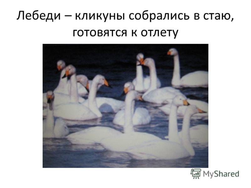 Лебеди – кликуны собрались в стаю, готовятся к отлету