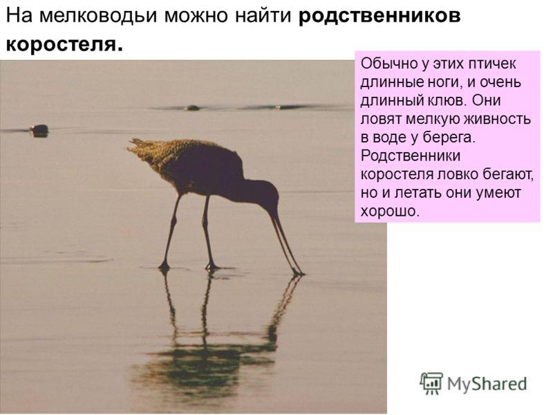 На мелководьи можно найти родственников коростеля. Обычно у этих птичек длинные ноги, и очень длинный клюв. Они ловят мелкую живность в воде у берега. Родственники коростеля ловко бегают, но и летать они умеют хорошо.