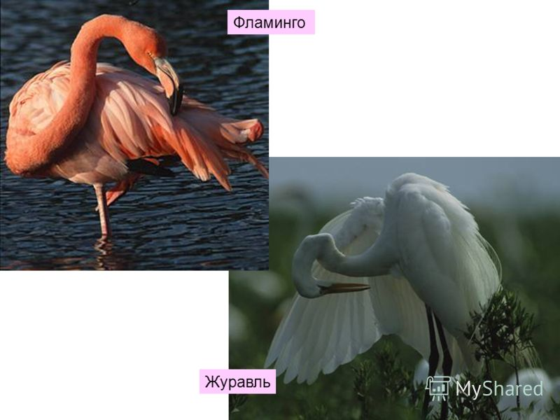 Фламинго Журавль