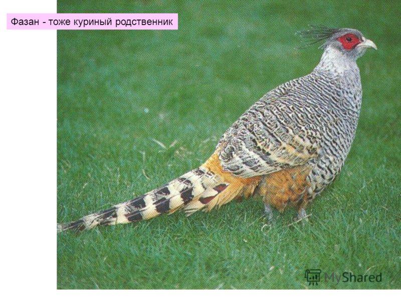 Фазан - тоже куриный родственник