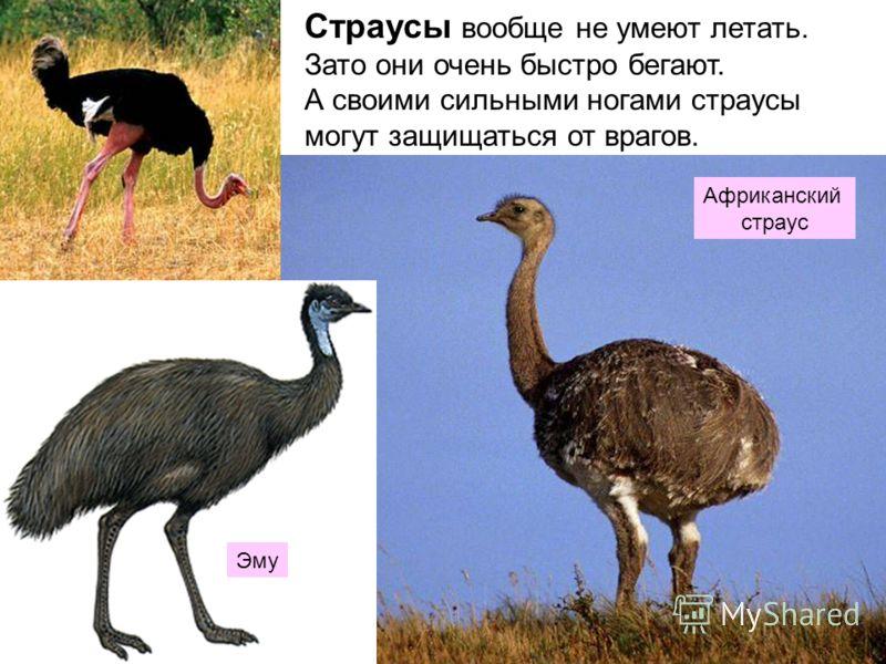 Страусы вообще не умеют летать. Зато они очень быстро бегают. А своими сильными ногами страусы могут защищаться от врагов. Африканский страус Эму