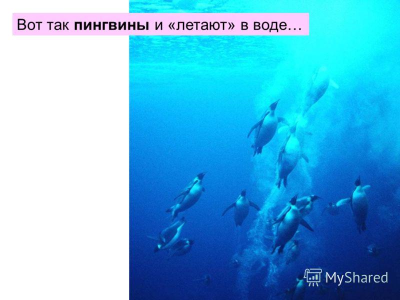 Вот так пингвины и «летают» в воде…