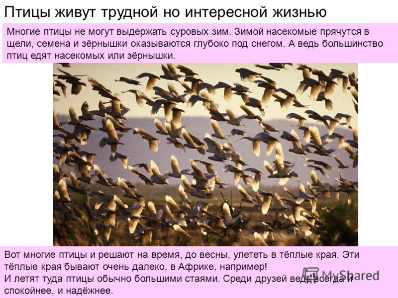 Птицы живут трудной но интересной жизнью Многие птицы не могут выдержать суровых зим. Зимой насекомые прячутся в щели, семена и зёрнышки оказываются глубоко под снегом. А ведь большинство птиц едят насекомых или зёрнышки. Вот многие птицы и решают на