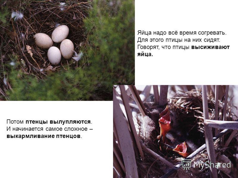 Яйца надо всё время согревать. Для этого птицы на них сидят. Говорят, что птицы высиживают яйца. Потом птенцы вылупляются. И начинается самое сложное – выкармливание птенцов.