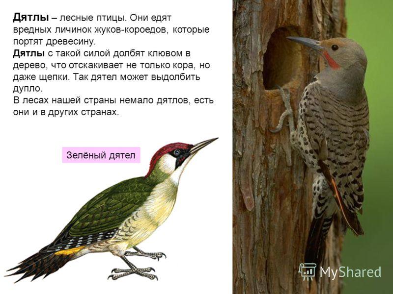 Дятлы – лесные птицы. Они едят вредных личинок жуков-короедов, которые портят древесину. Дятлы с такой силой долбят клювом в дерево, что отскакивает не только кора, но даже щепки. Так дятел может выдолбить дупло. В лесах нашей страны немало дятлов, е