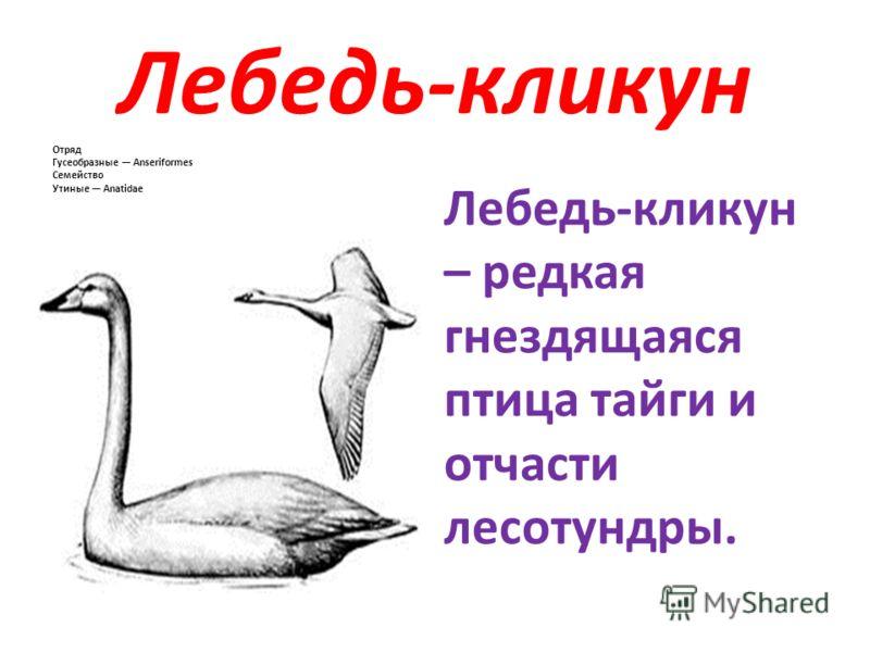 Лебедь-кликун Отряд Гусеобразные Anseriformes Семейство Утиные Anatidae Лебедь-кликун – редкая гнездящаяся птица тайги и отчасти лесотундры.