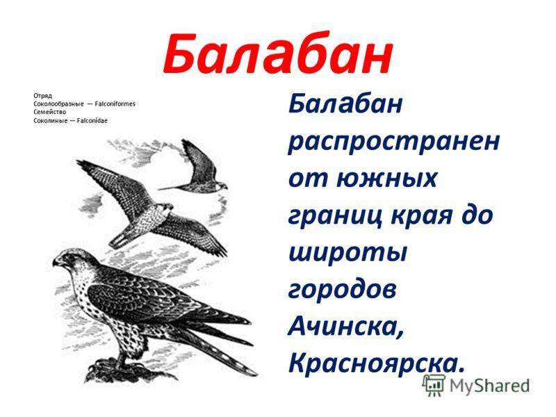 Бал а бан Отряд Соколообразные Falconiformes Семейство Соколиные Falconidae Бал а бан распространен от южных границ края до широты городов Ачинска, Красноярска.