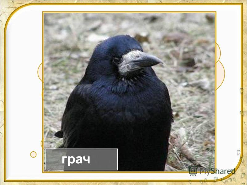 Окраска – сероватая, Повадка – вороватая, Крикунья хрипловатая, Важная персона – Это я … ворона