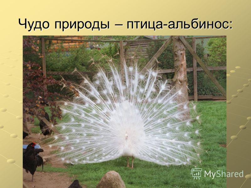 Чудо природы – птица-альбинос: