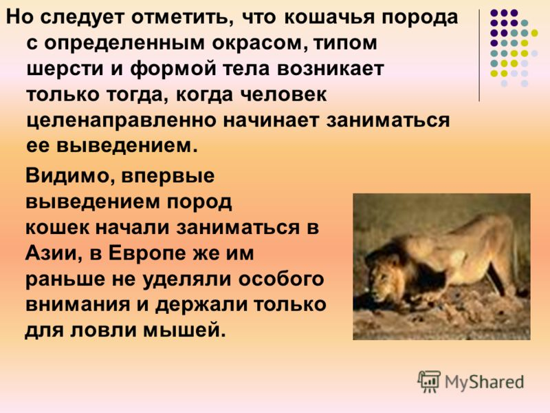 Но следует отметить, что кошачья порода с определенным окрасом, типом шерсти и формой тела возникает только тогда, когда человек целенаправленно начинает заниматься ее выведением. Видимо, впервые выведением пород кошек начали заниматься в Азии, в Евр