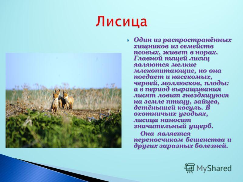 Один из распространённых хищников из семейств псовых, живет в норах. Главной пищей лисиц являются мелкие млекопитающие, но она поедает и насекомых, червей, моллюсков, плоды: а в период выращивания лисят ловит гнездящуюся на земле птицу, зайцев, детён