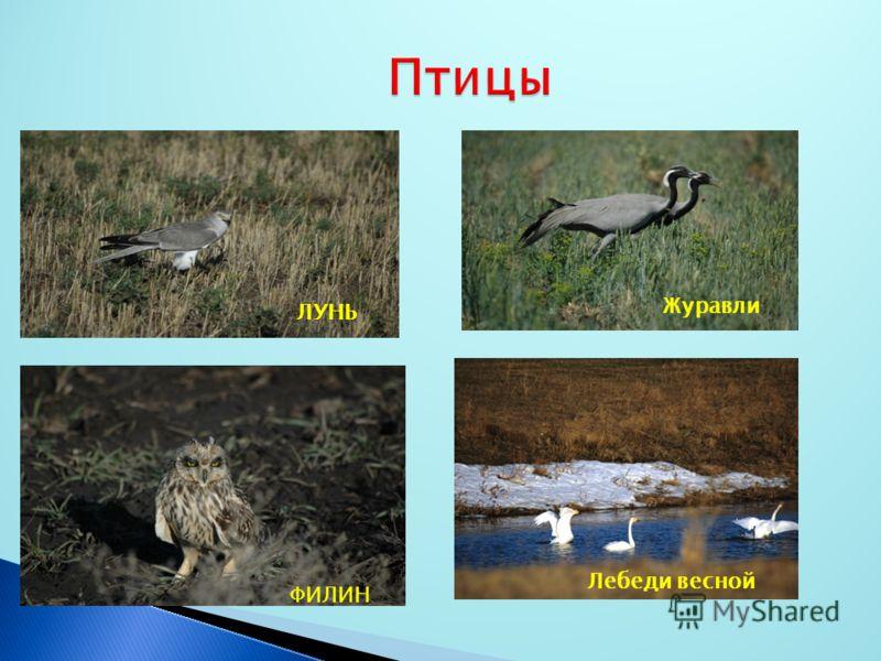 ЛУНЬ Журавли ФИЛИН Лебеди весной