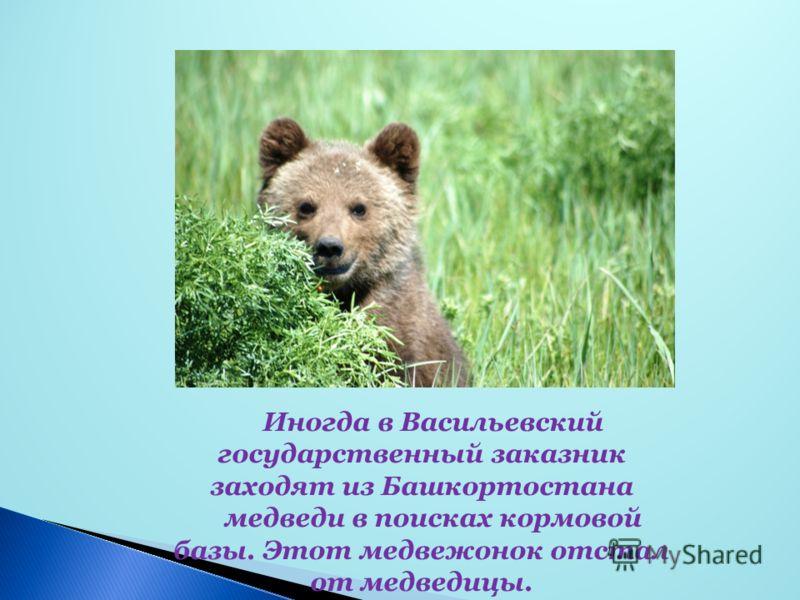 Иногда в Васильевский государственный заказник заходят из Башкортостана медведи в поисках кормовой базы. Этот медвежонок отстал от медведицы.