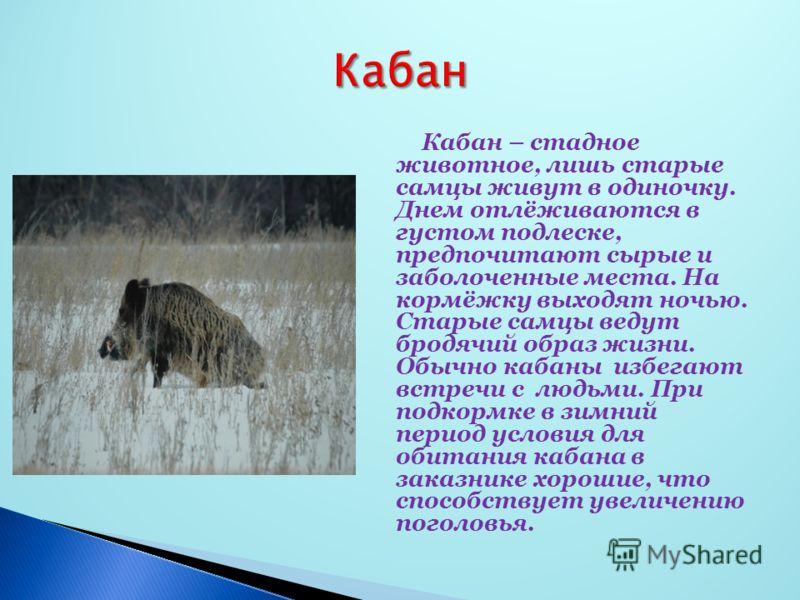 Кабан – стадное животное, лишь старые самцы живут в одиночку. Днем отлёживаются в густом подлеске, предпочитают сырые и заболоченные места. На кормёжку выходят ночью. Старые самцы ведут бродячий образ жизни. Обычно кабаны избегают встречи с людьми. П