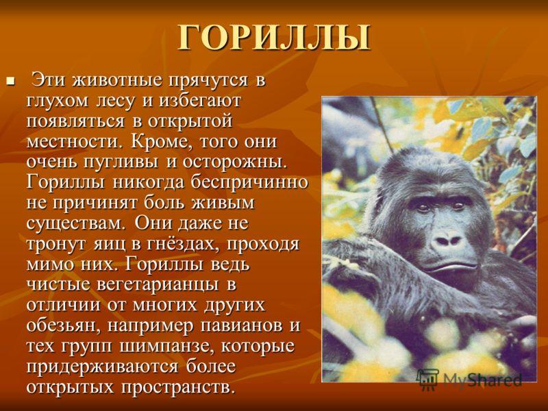 ГОРИЛЛЫ Эти животные прячутся в глухом лесу и избегают появляться в открытой местности. Кроме, того они очень пугливы и осторожны. Гориллы никогда беспричинно не причинят боль живым существам. Они даже не тронут яиц в гнёздах, проходя мимо них. Горил