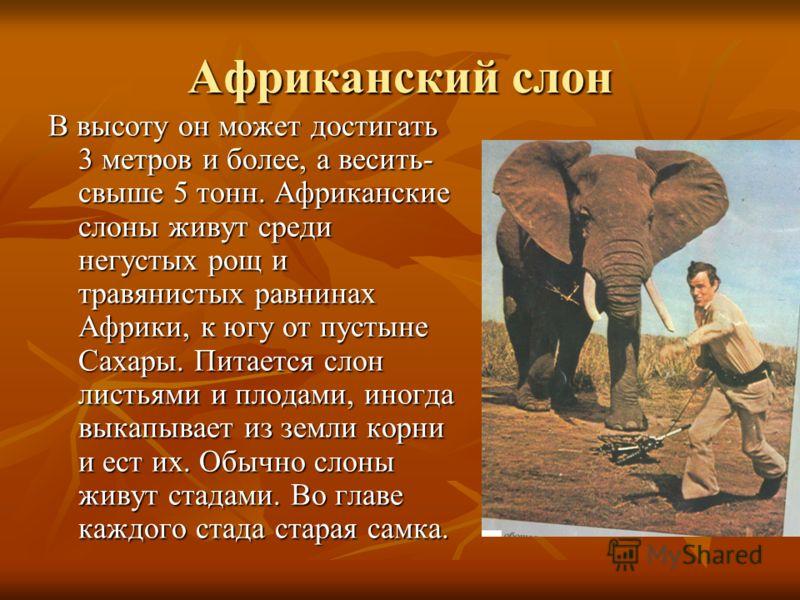 Африканский слон В высоту он может достигать 3 метров и более, а весить- свыше 5 тонн. Африканские слоны живут среди негустых рощ и травянистых равнинах Африки, к югу от пустыне Сахары. Питается слон листьями и плодами, иногда выкапывает из земли кор