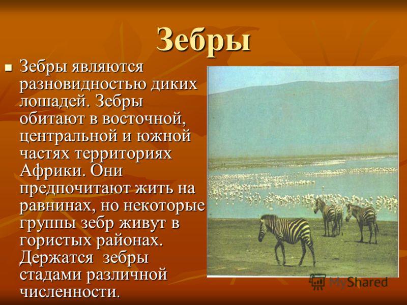 Зебры Зебры являются разновидностью диких лошадей. Зебры обитают в восточной, центральной и южной частях территориях Африки. Они предпочитают жить на равнинах, но некоторые группы зебр живут в гористых районах. Держатся зебры стадами различной числен