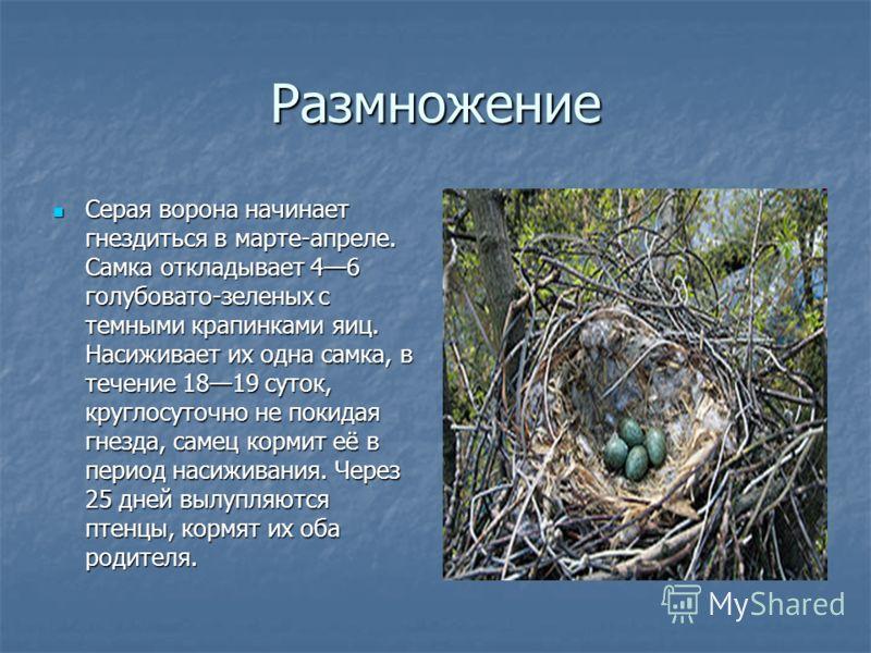 Размножение Серая ворона начинает гнездиться в марте-апреле. Самка откладывает 46 голубовато-зеленых с темными крапинками яиц. Насиживает их одна самка, в течение 1819 суток, круглосуточно не покидая гнезда, самец кормит её в период насиживания. Чере