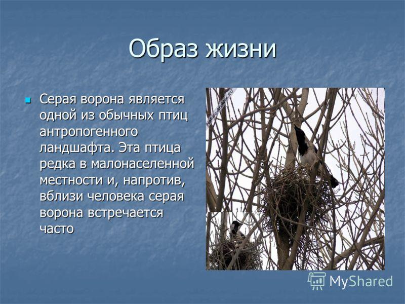 Образ жизни Серая ворона является одной из обычных птиц антропогенного ландшафта. Эта птица редка в малонаселенной местности и, напротив, вблизи человека серая ворона встречается часто Серая ворона является одной из обычных птиц антропогенного ландша