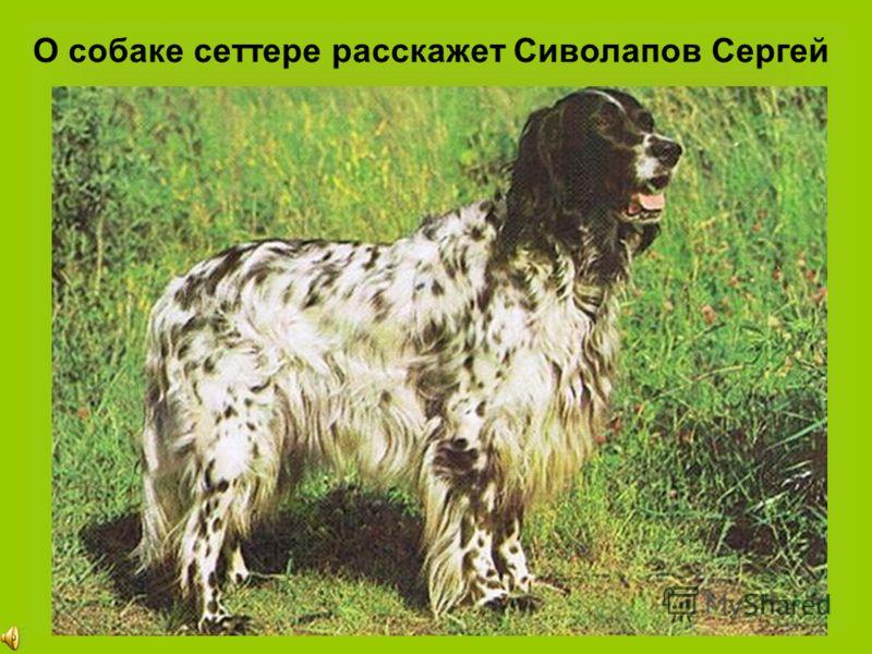 О собаке сеттере расскажет Сиволапов Сергей