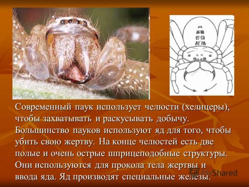 Современный паук использует челюсти (хелицеры), чтобы захватывать и раскусывать добычу. Большинство пауков используют яд для того, чтобы убить свою жертву. На конце челюстей есть две полые и очень острые шприцеподобные структуры. Они используются для