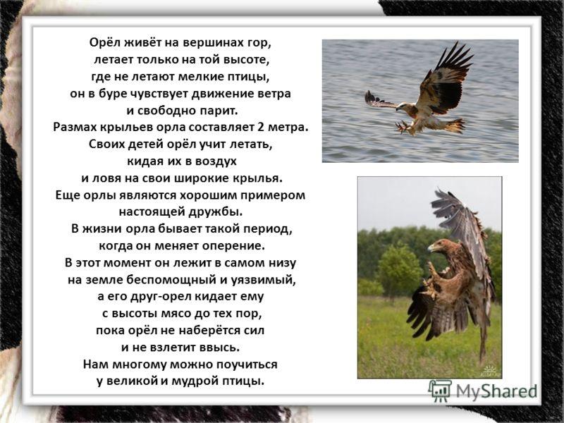 Орёл живёт на вершинах гор, летает только на той высоте, где не летают мелкие птицы, он в буре чувствует движение ветра и свободно парит. Размах крыльев орла составляет 2 метра. Своих детей орёл учит летать, кидая их в воздух и ловя на свои широкие к