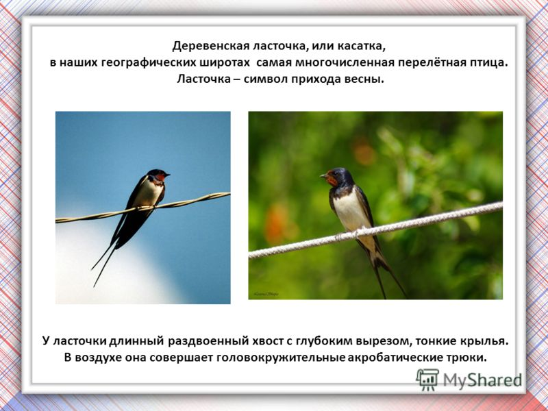 Деревенская ласточка, или касатка, в наших географических широтах самая многочисленная перелётная птица. Ласточка – символ прихода весны. У ласточки длинный раздвоенный хвост с глубоким вырезом, тонкие крылья. В воздухе она совершает головокружительн