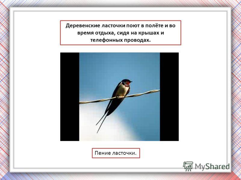 Деревенские ласточки поют в полёте и во время отдыха, сидя на крышах и телефонных проводах. Пение ласточки.