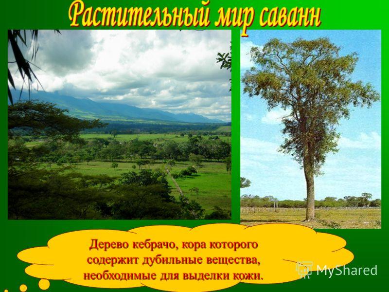Дерево кебрачо, кора которого содержит дубильные вещества, необходимые для выделки кожи.