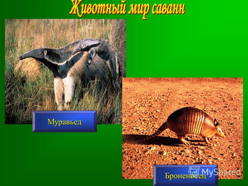Муравьед Броненосец