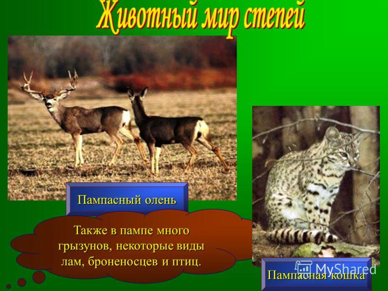 Пампасный олень Также в пампе много грызунов, некоторые виды лам, броненосцев и птиц. Пампасная кошка