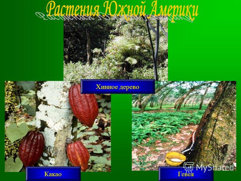 КакаоГевея Хинное дерево