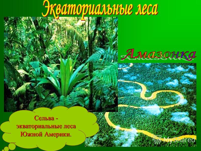 Сельва - экваториальные леса Южной Америки.