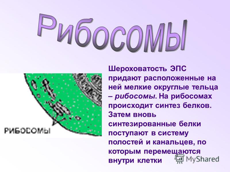 Шероховатость ЭПС придают расположенные на ней мелкие округлые тельца – рибосомы. На рибосомах происходит синтез белков. Затем вновь синтезированные белки поступают в систему полостей и канальцев, по которым перемещаются внутри клетки