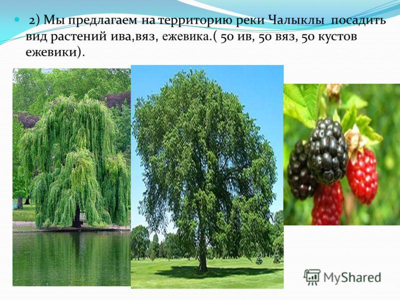 2) Мы предлагаем на территорию реки Чалыклы посадить вид растений ива, вяз, ежевика. ( 50 ив, 50 вяз, 50 кустов ежевики).