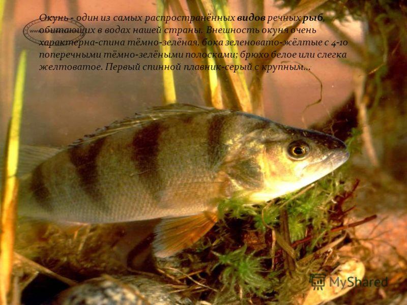 Окунь Окунь Окунь - один из самых распространённых видов речных рыб, обитающих в водах нашей страны. Внешность окуня очень характерна-спина тёмно-зелёная, бока зеленовато-жёлтые с 4-10 поперечными тёмно-зелёными полосками; брюхо белое или слегка желт