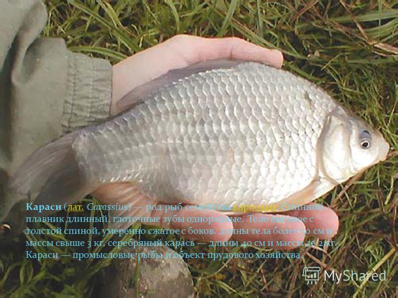 Караси (лат. Carassius) род рыб семейства карповых. Спинной плавник длинный, глоточные зубы однорядные. Тело высокое с толстой спиной, умеренно сжатое с боков. длины тела более 50 см и массы свыше 3 кг, серебряный карась длины 40 см и массы до 2 кг.