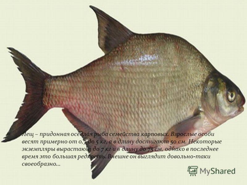 Лещ – придонная осёдлая рыба семейства карповых. Взрослые особи весят примерно от 0,7 до 5 кг, а в длину достигают 50 см. Некоторые экземпляры вырастают до 7 кг и в длину до 75 см, однако в последнее время это большая редкость. Внешне он выглядит дов