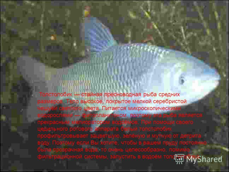 Толстолобик стайная пресноводная рыба средних размеров. Тело высокое, покрытое мелкой серебристой чешуёй светлого цвета. Питается микроскопическими водорослями фитопланктоном, поэтому эта рыба является прекрасным мелиоратором водоёмов. При помощи сво