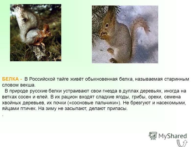 БЕЛКА - В Российской тайге живёт обыкновенная белка, называемая старинным словом векша. В природе русские белки устраивают свои гнезда в дуплах деревьях, иногда на ветках сосен и елей. В их рацион входят сладкие ягоды, грибы, орехи, семена хвойных де