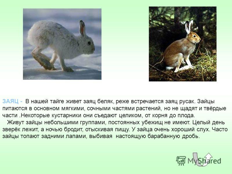 ЗАЯЦ - В нашей тайге живет заяц беляк, реже встречается заяц русак. Зайцы питаются в основном мягкими, сочными частями растений, но не щадят и твёрдые части.Некоторые кустарники они съедают целиком, от корня до плода. Живут зайцы небольшими группами,