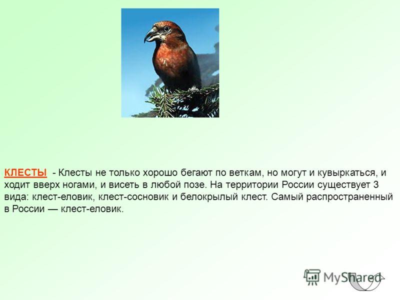 КЛЕСТЫ - Клесты не только хорошо бегают по веткам, но могут и кувыркаться, и ходит вверх ногами, и висеть в любой позе. На территории России существует 3 вида: клест-еловик, клест-сосновик и белокрылый клест. Самый распространенный в России клест-ело