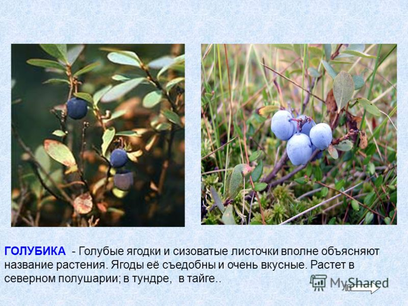ГОЛУБИКА - Голубые ягодки и сизоватые листочки вполне объясняют название растения. Ягоды её съедобны и очень вкусные. Растет в северном полушарии; в тундре, в тайге..
