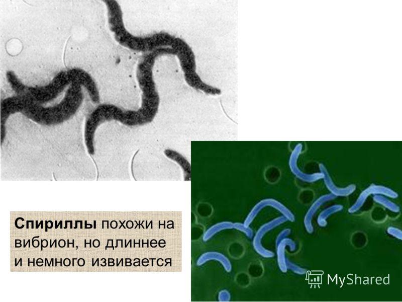 Спириллы похожи на вибрион, но длиннее и немного извивается