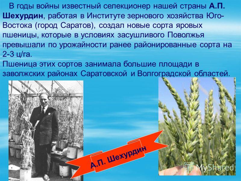 В годы войны известный селекционер нашей страны А.П. Шехурдин, работая в Институте зернового хозяйства Юго- Востока (город Саратов), создал новые сорта яровых пшеницы, которые в условиях засушливого Поволжья превышали по урожайности ранее районирован