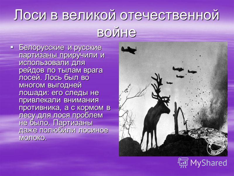 Лоси в великой отечественной войне Белорусские и русские партизаны приручили и использовали для рейдов по тылам врага лосей. Лось был во многом выгодней лошади: его следы не привлекали внимания противника, а с кормом в лесу для лося проблем не было.