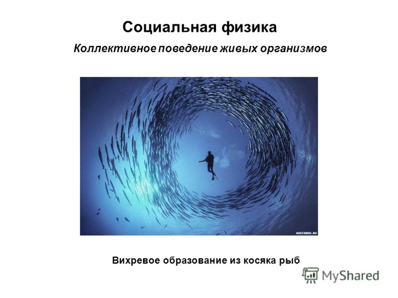 Социальная физика Коллективное поведение живых организмов Вихревое образование из косяка рыб
