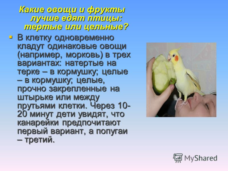 Какие овощи и фрукты лучше едят птицы: тертые или цельные? В клетку одновременно кладут одинаковые овощи (например, морковь) в трех вариантах: натертые на терке – в кормушку; целые – в кормушку; целые, прочно закрепленные на штырьке или между прутьям